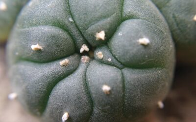 Peyote, Its Perilous Past and Prospective Future